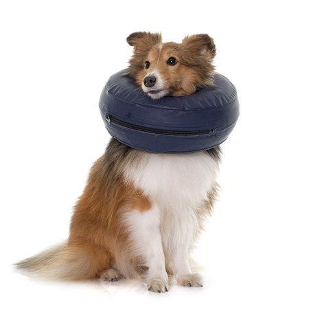 miniature collie: dog with protective collar in front of white background