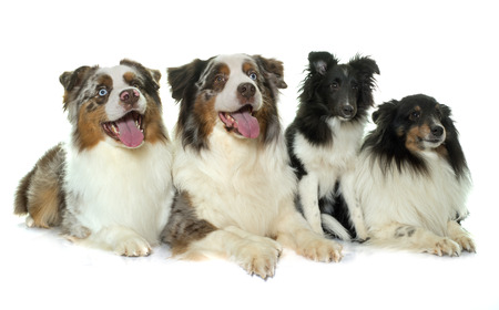 sheepdogs: australian shephers and shetland sheepdogs in front of white background Stock Photo