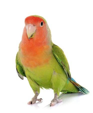 Peach-faced Lovebird in front of white background Stockfoto