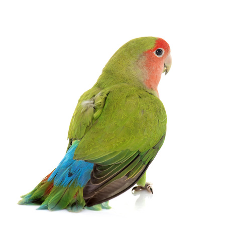 lovebird: Peach-faced Lovebird in front of white background Stock Photo
