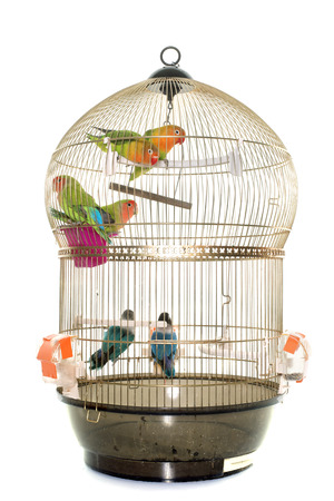 caged: cage with lovebird in front of white background