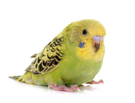 budgerigar: young budgerigar in front of white background Stock Photo