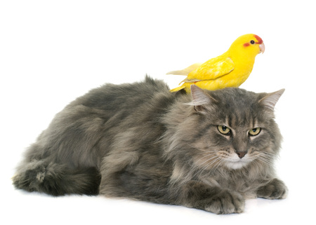 two parrots: kakariki and  maine coon cat in front of white background