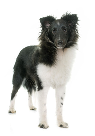 sheepdogs: puppy shetland sheepdog in front of white background