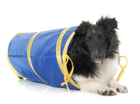 fondo blanco: perro pastor de Shetland del perrito en agilidad delante de fondo blanco