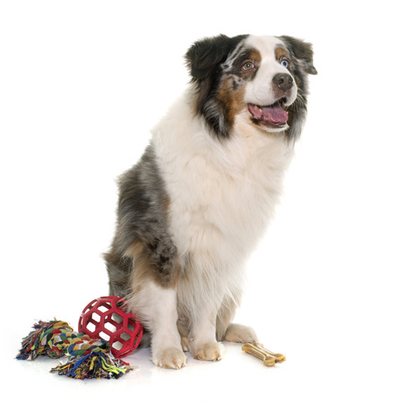 adult toys: brown australian shepherd in front of white background