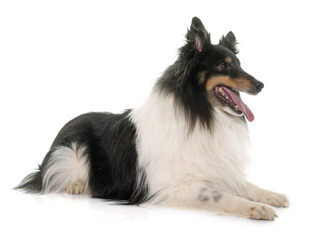 elderly adults: adult shetland sheepdog in front of white background