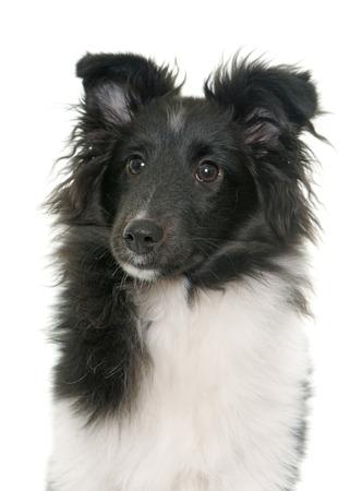 sheepdog: puppy shetland sheepdog in front of white background
