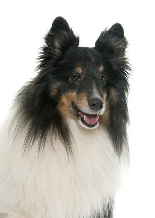dog isolated: adult shetland sheepdog in front of white background