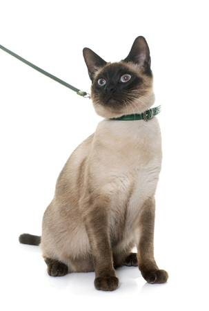 siamese cats: young siamese cat in front of white background
