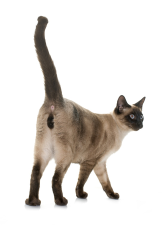 spay: young siamese cat in front of white background
