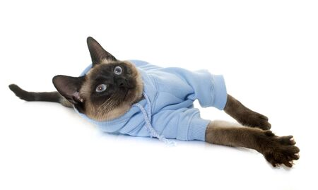 siamese cat: dressed siamese cat in front of white background