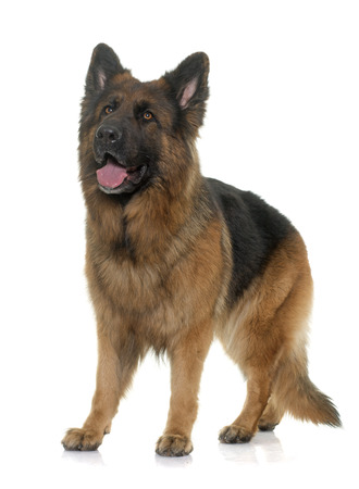 big dog: adult german shepherd in front of white background