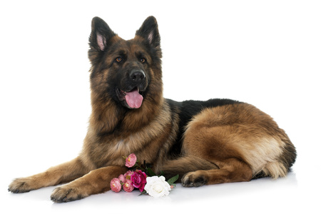sheepdogs: adult german shepherd in front of white background