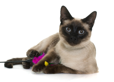 siamese cat: young siamese cat in front of white background