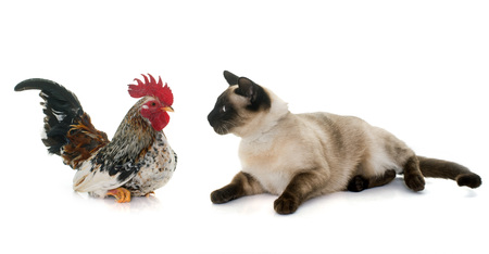 blue siamese cat: rooster and siamese cat in front of white background