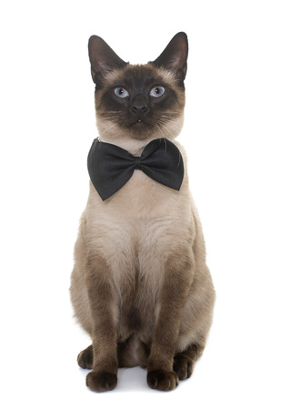 blue siamese cat: young siamese cat in front of white background
