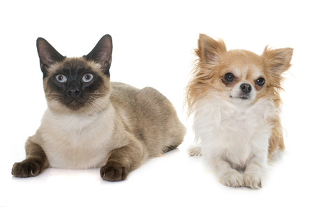 siamese cat: young siamese cat and chihuahua in front of white background