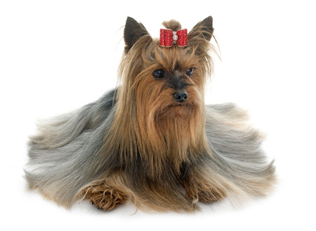 adult yorkshire terrier in front of white background