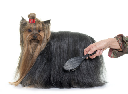 long haired: grooming yorkshire terrier in front of white background
