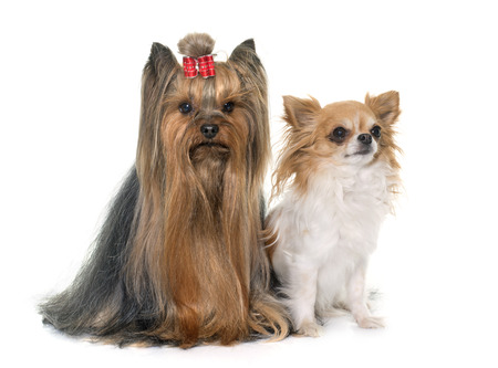long haired chihuahua: adult yorkshire terrier and chihuahua in front of white background Stock Photo