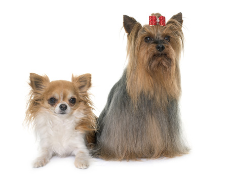 long haired chihuahua: chihuahua and yorkshire terrier in front of white background