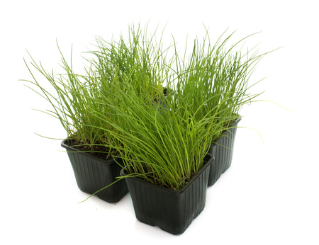 chives: chives in pot in front of white background Stock Photo
