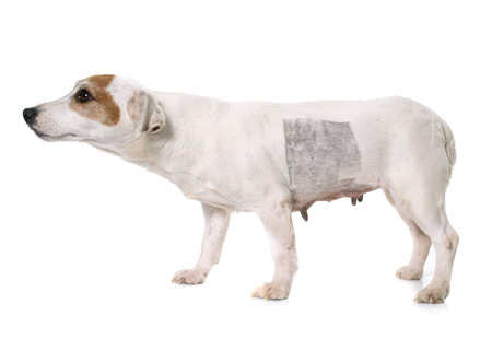 russel: injury of jack russel terrier in front of white background Stock Photo