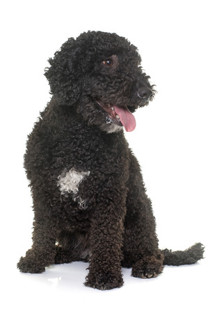 black hairs: spanish water dog in front of white background