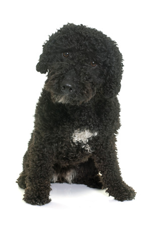 spanish water dog in front of white background Stock Photo