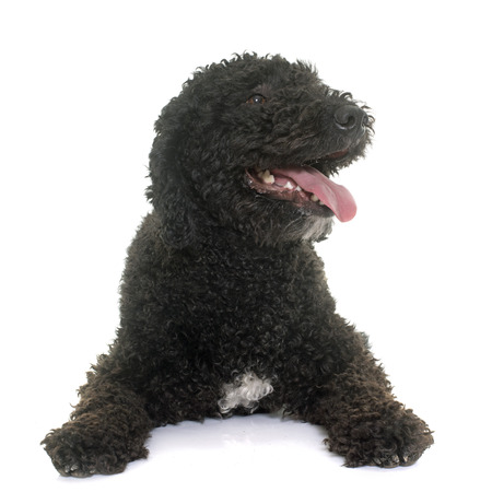 spanish water dog in front of white background