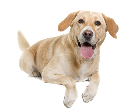brown labrador: female labrador retriever in front of white  background
