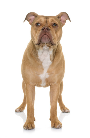 old english: old english bulldog in front of white background