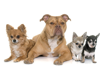 old english: old english bulldog and chihuahua in front of white background Stock Photo