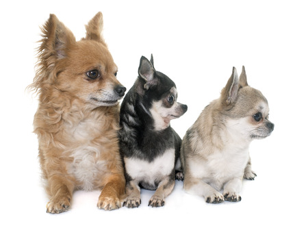 long hair chihuahua: group of chihuahua in front of white background Stock Photo