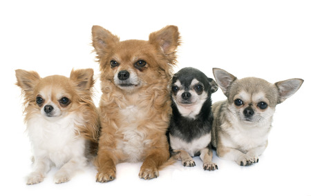 pedigree: group of chihuahua in front of white background Stock Photo