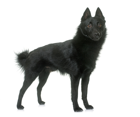 black dog: young Schipperke dog in front of white background Stock Photo