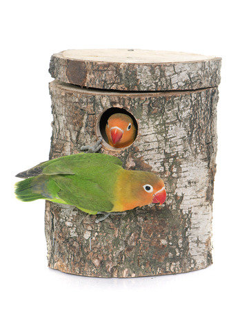 lovebird: bird nest box and lovebird in front of white background