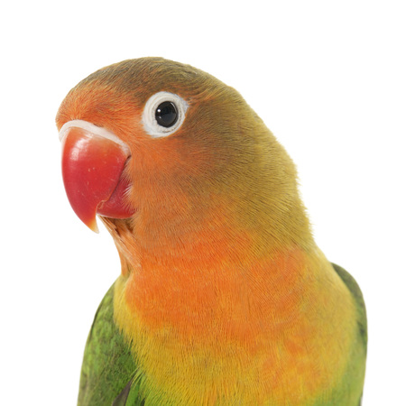 budgie: Young fischeri lovebird in front of white background