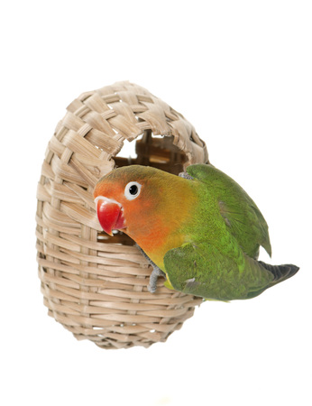 lovebird: bird nest  and lovebird in front of white background Stock Photo