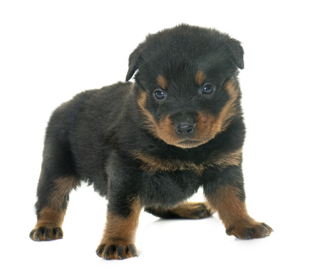 rottweiler: young puppy rottweiler in front of white background Stock Photo