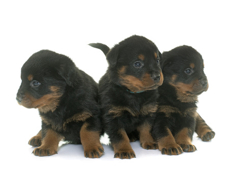 rottweiler: young puppies rottweiler in front of white background Stock Photo