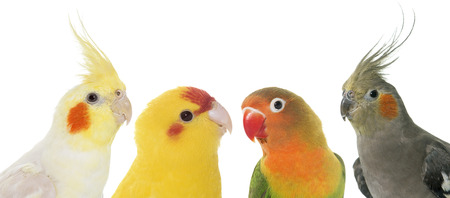 portrait of cockatiel, lovebird and kakariki in front of white background