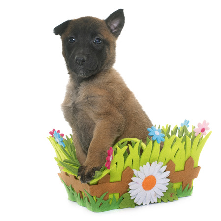 sheepdogs: puppy belgian shepherd malinois in front of white background