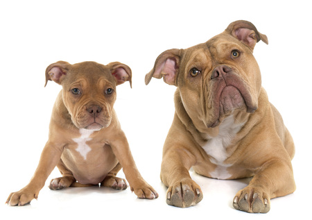 old english: puppy and adult old english bulldog in front of white background