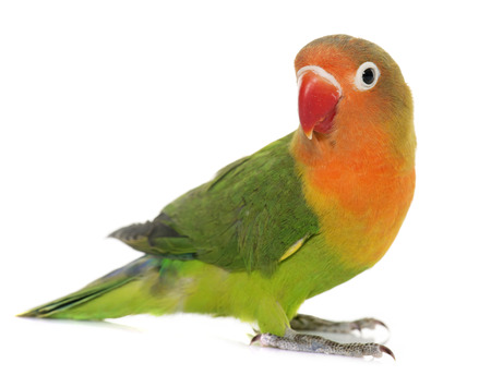 lovebird: Young fischeri lovebird in front of white background