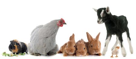 흰색 배경 앞의 농장 동물의 그룹 스톡 콘텐츠