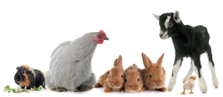bantam hen: group of farm animals in front of white background Stock Photo