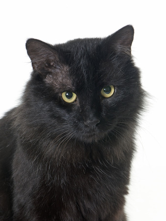 white cats: black cat in front of white background Stock Photo