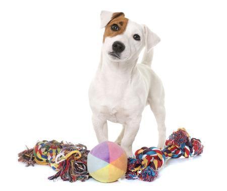 El joven Jack Russel terrier y juguetes delante de fondo blanco Foto de archivo - 55709032